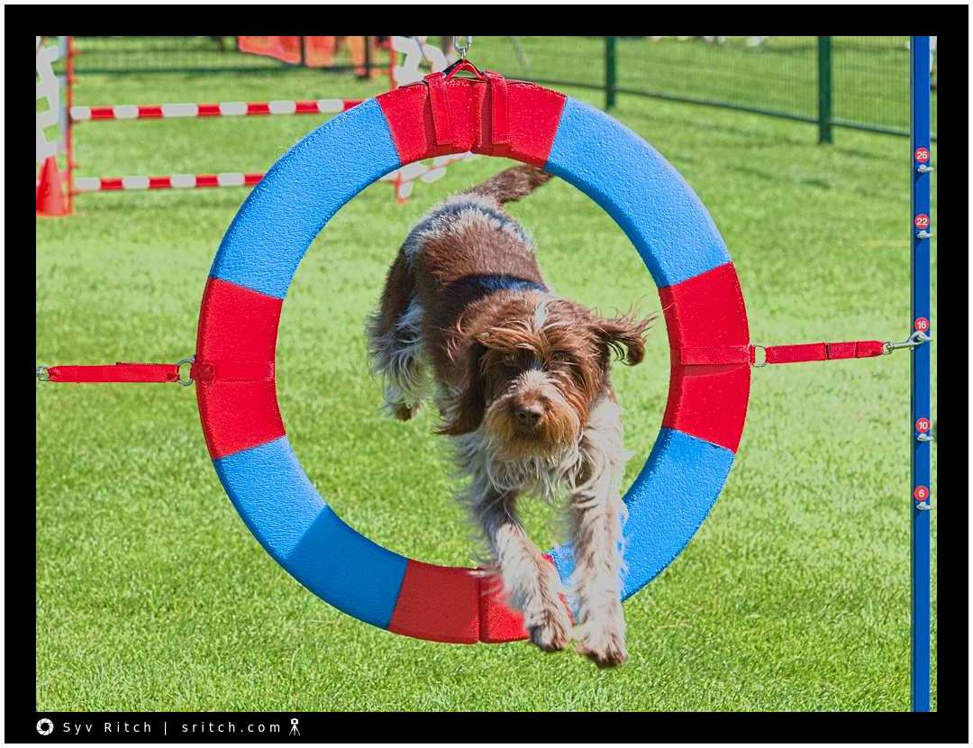 dog @ agility competition