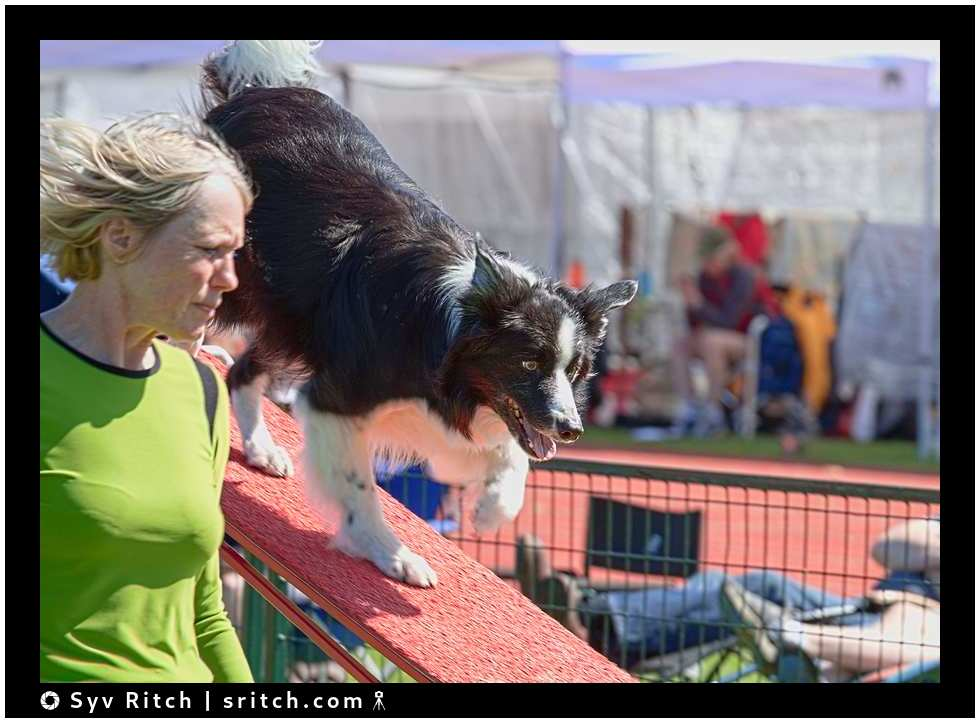 border collie at agility