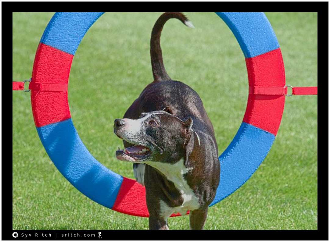 Dog at agility competition
