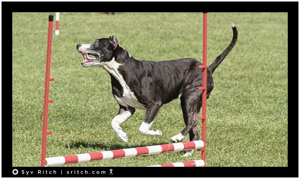 dog at agility race