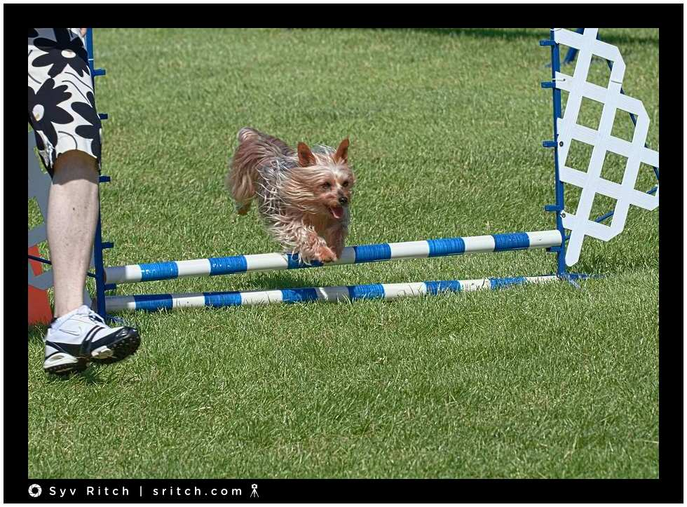 small dogs at agility races