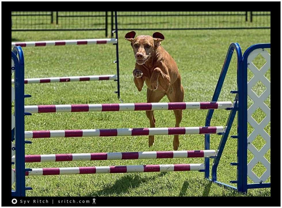 Dog jumping at agility racing