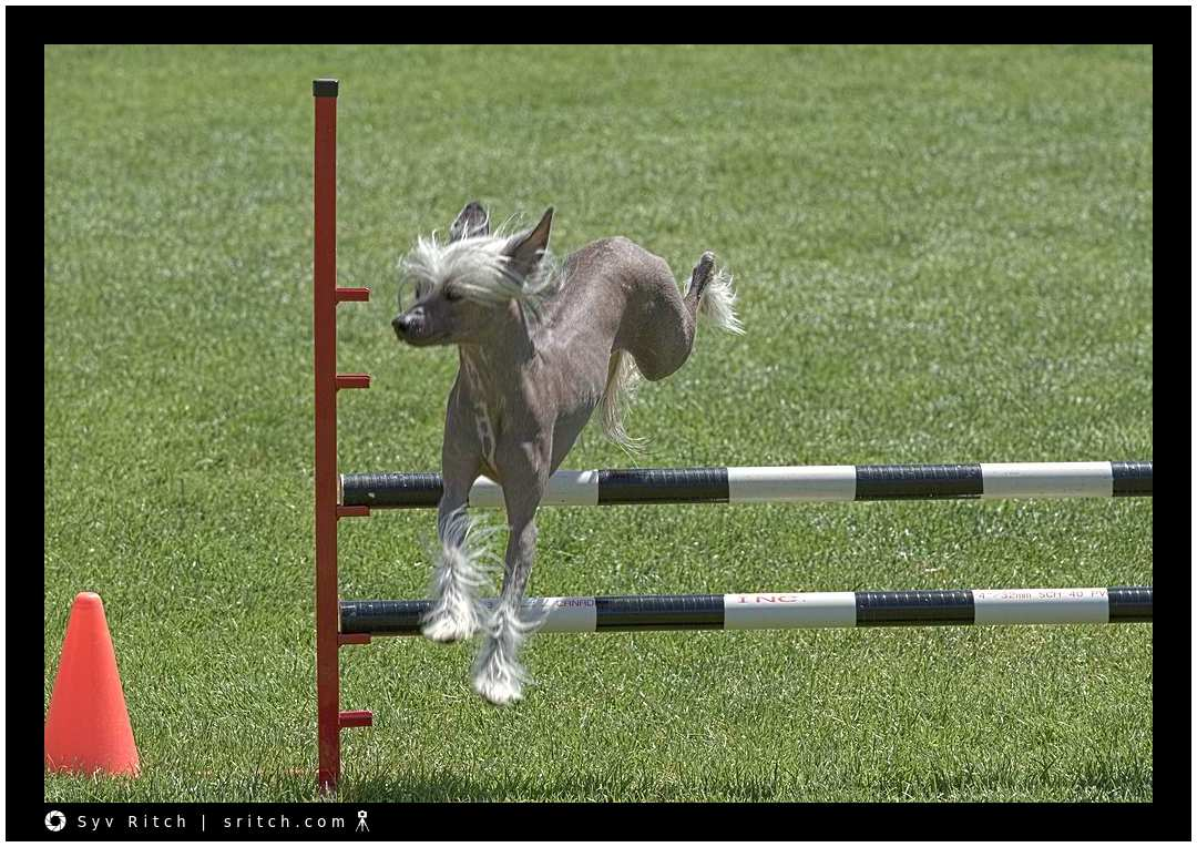 Chinese Crested dog doing an agility race