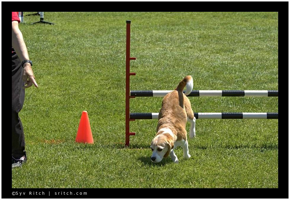 Beagle sniffing while doing agility racing