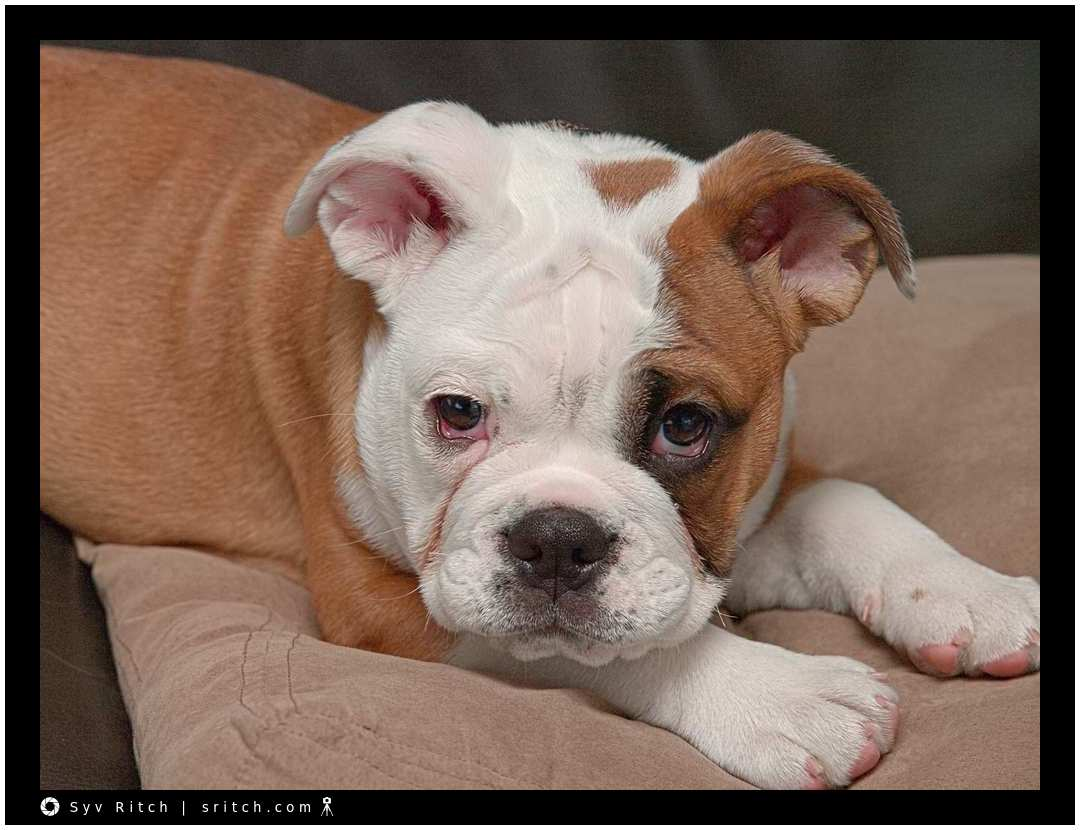 british bulldog puppy falling asleep