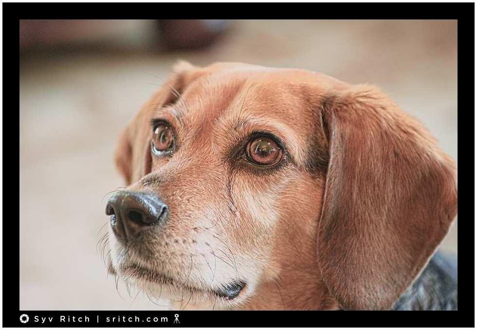 blue: a beagle
