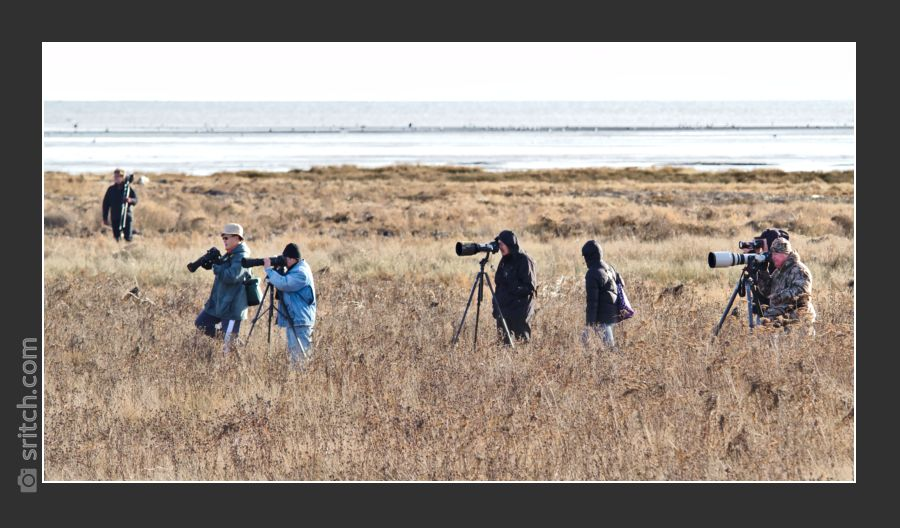 Photographers hunting for Snowy Owls