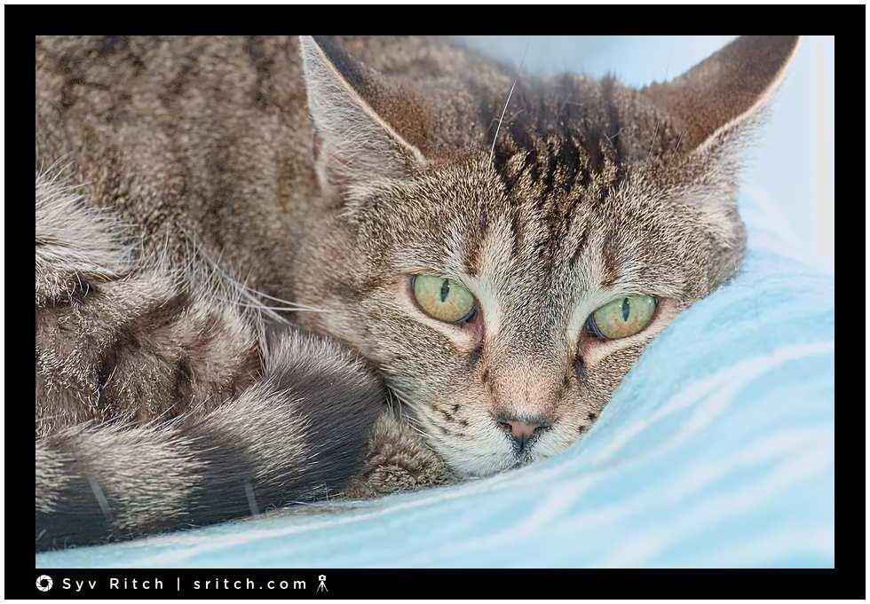 old tabby cat on blanket