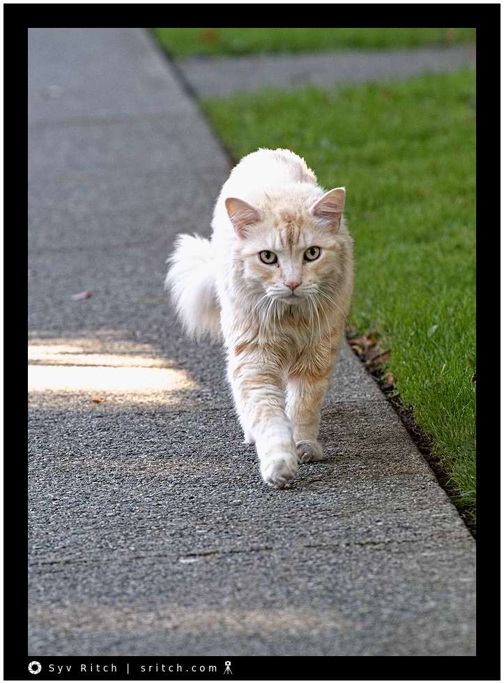 Attack cat walking down the street: Vancouver, BC