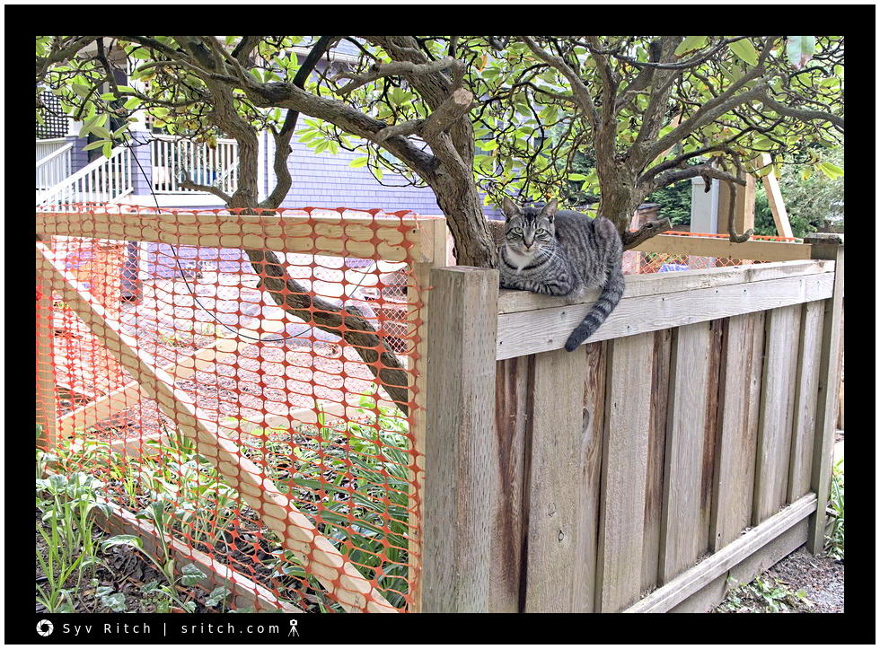 tabby cat on a fence