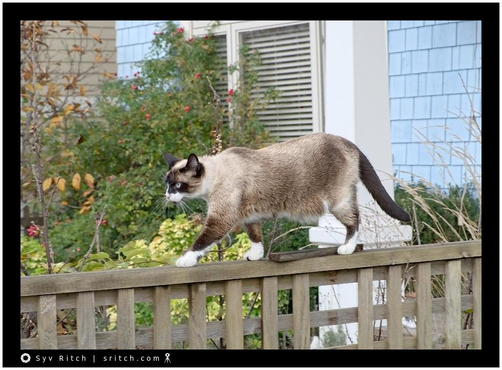 Siamese cat walking on fence
