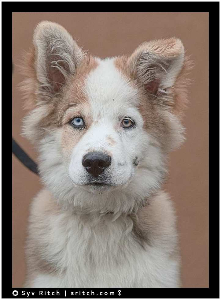 Zeick is a 4 month old Husky Vancouver Downtown Eastside, BC