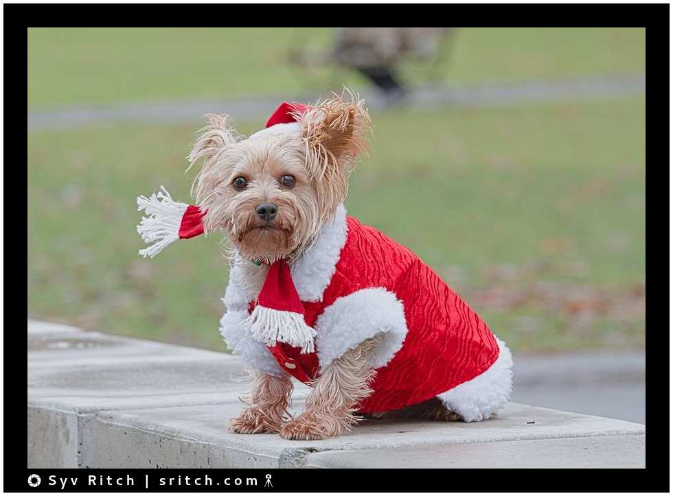 Yorkie wearing a red Xmas suit