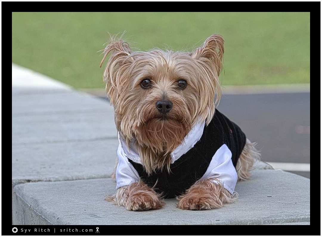 Lucky, a Yorkie, with his black tuxedo