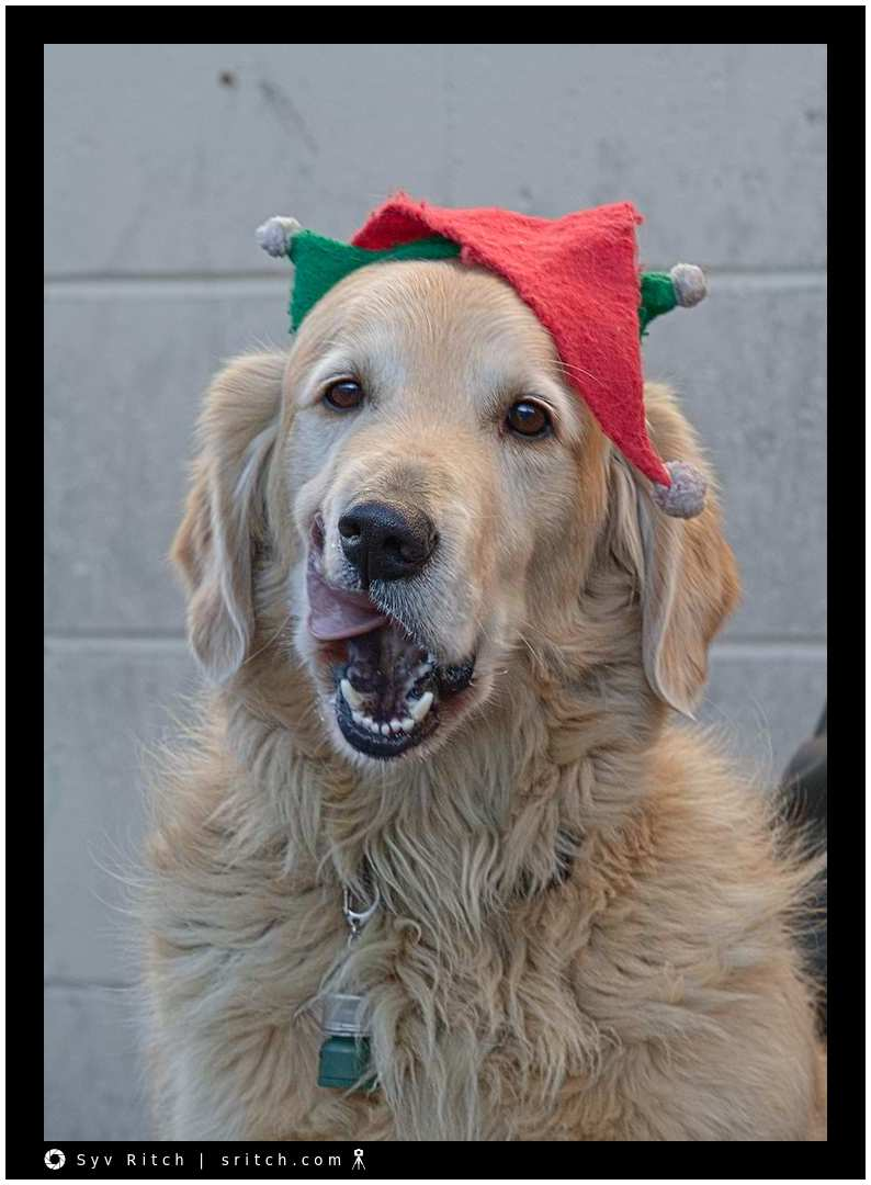Golden Retriever with a Christmas hat in the Vancouver Downtown Eastside