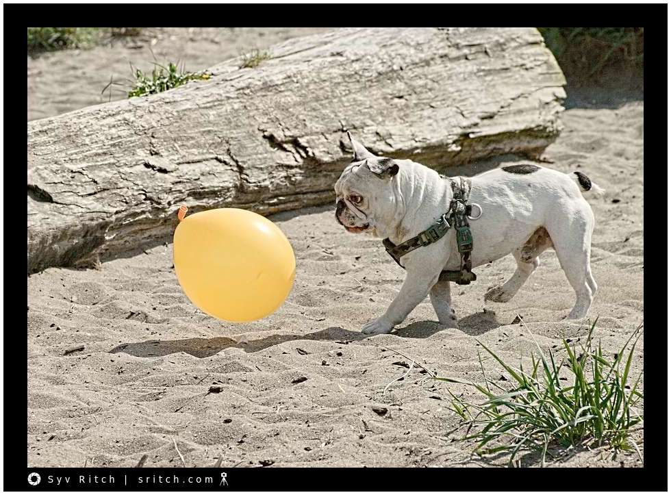 Frenchie following a balloon