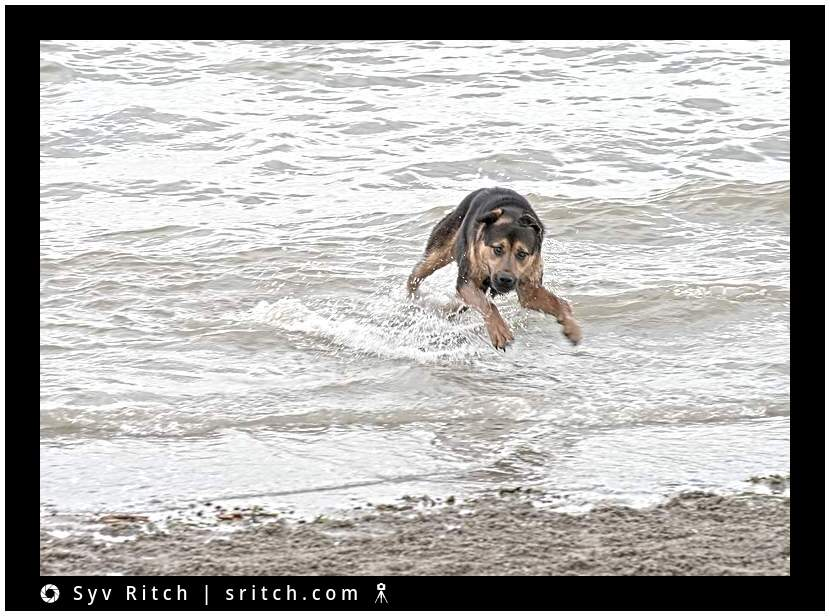 dog avoiding the waves