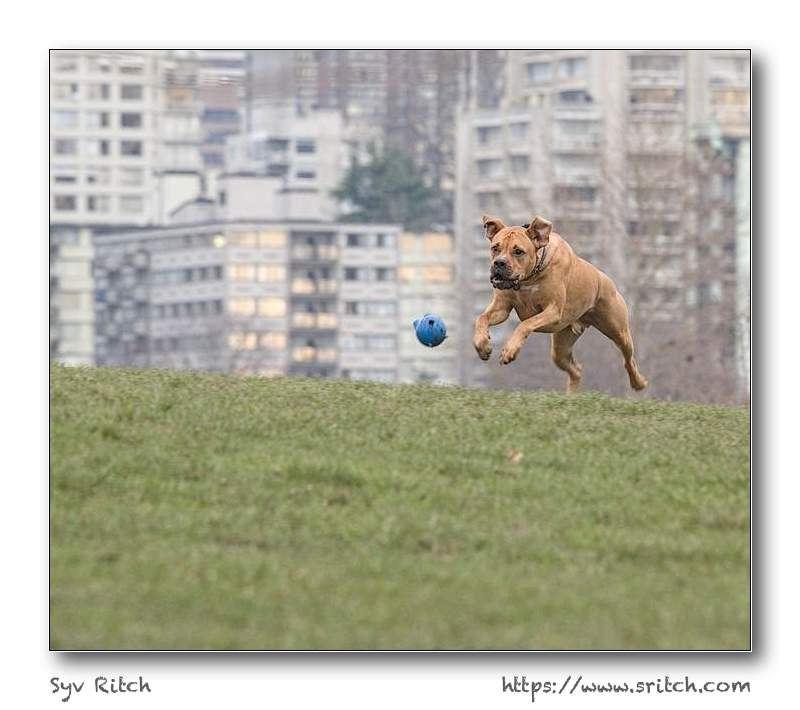 Dog running and catching the ball at Hadden Park, Vancouver, BC
