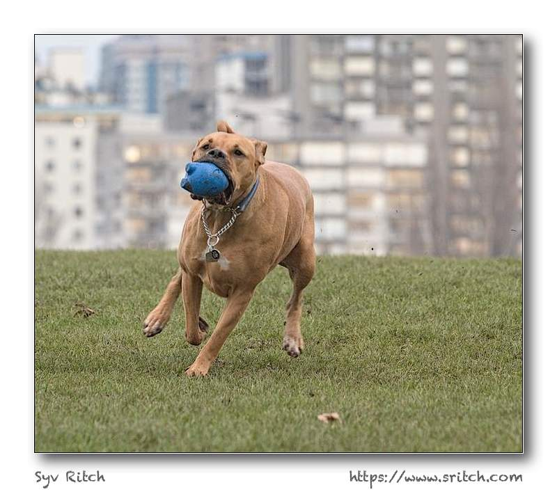 This dog was running after the ball at Hadden Park, Vancouver, British Columbia. Not only he had to catch it, he had to brake to turn around and go back to the person that threw the ball. Vancouver, BC