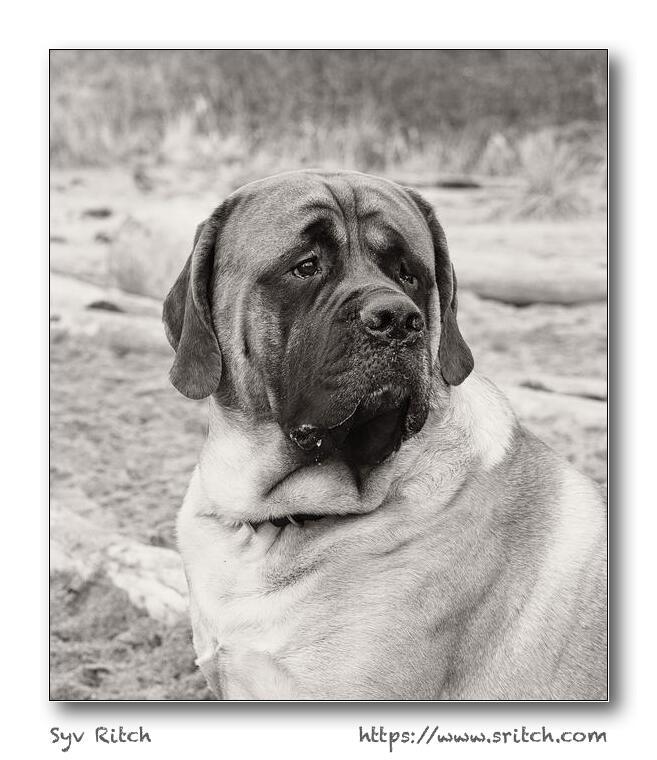A very pushy Mastiff