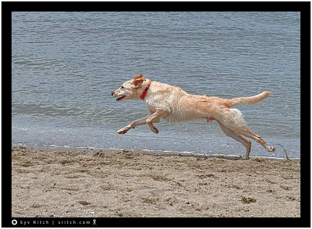 Wolfhound running by the edge of the water