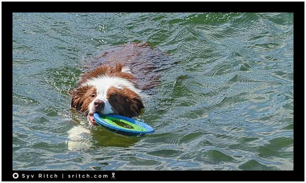 border collie rescuing her frisbee