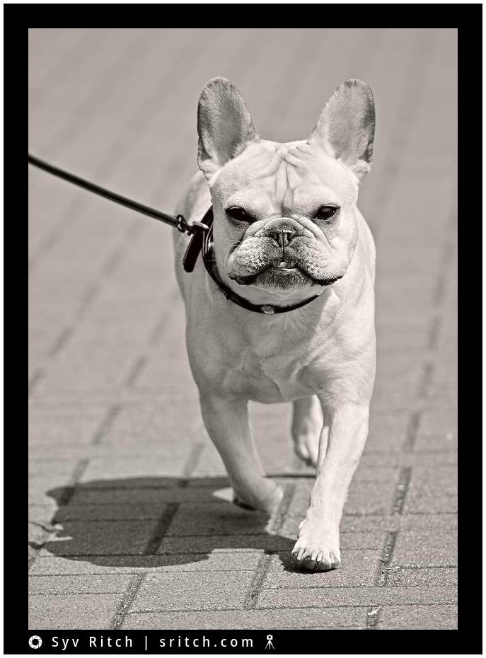 Bowser the French Bulldog, Vancouver, BC