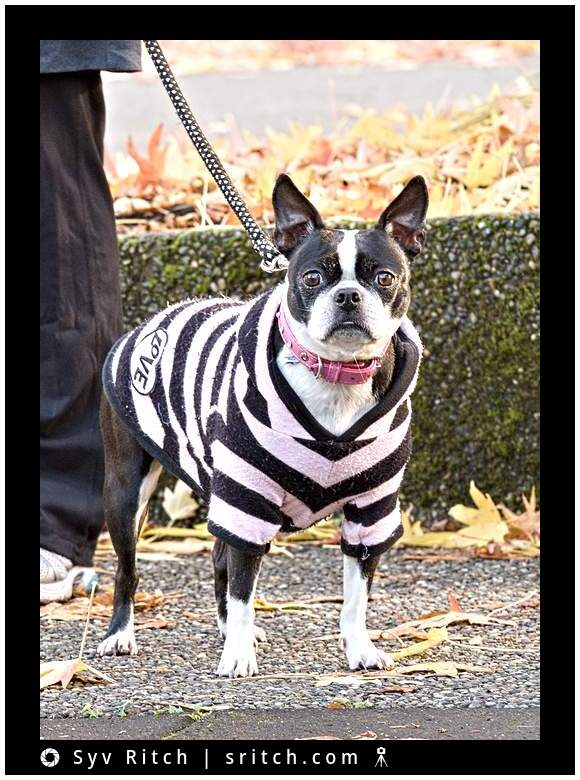 boston terrier wearing a jail suit