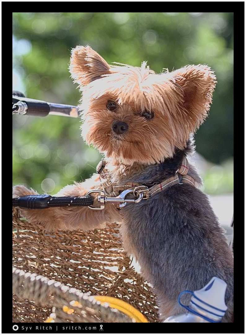 Yorkie tied to the handlebars of a bike