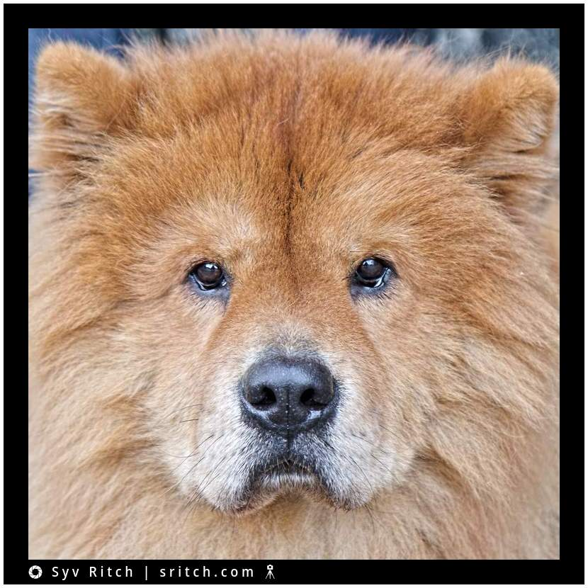 This Chow is named Bear. Not only he looks the part, he's also fearless