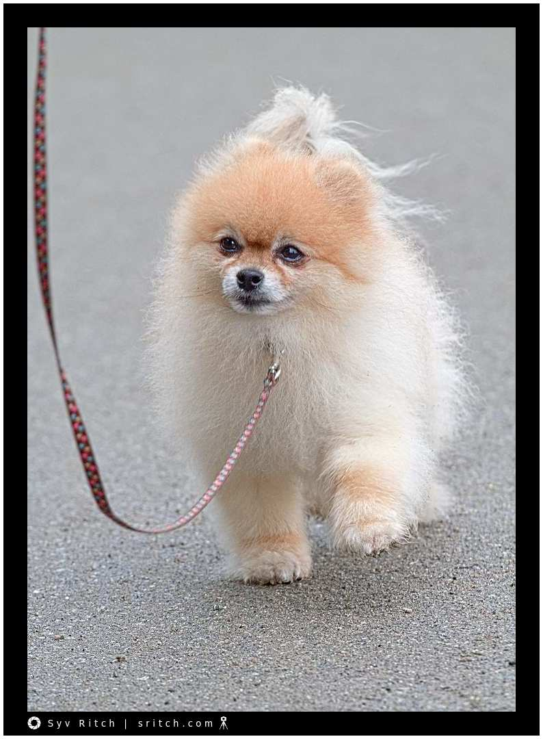 Pomeranian walking (kind of)