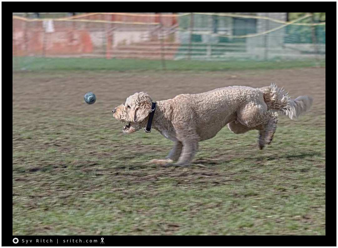 Labradoodle Catching the Ball: Vancouver, BC