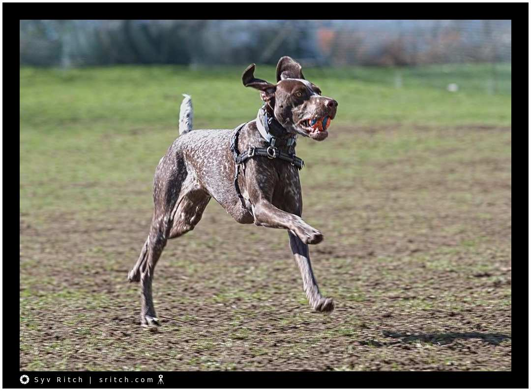 Pointer Running with the Ball: Vancouver, BC