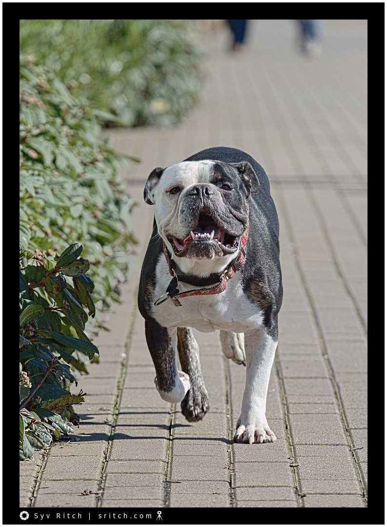 Bulldog on a Mission: Vancouver, BC