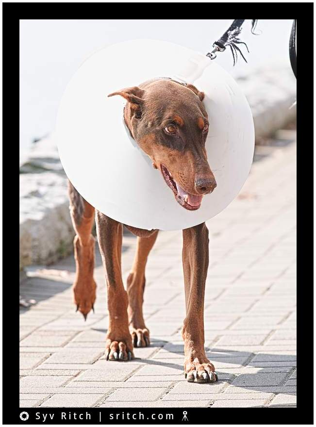 Doberman with 'cone of shame'