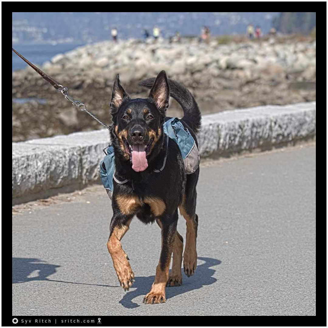 Dog Working: Seawall — Vancouver, BC