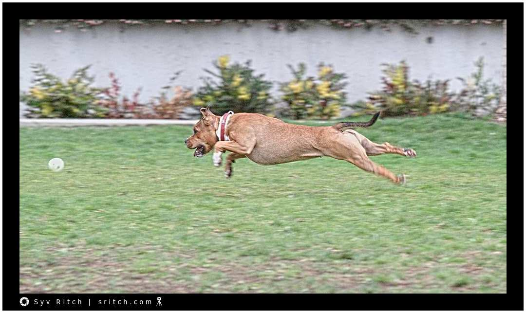 This is how dogs run. This pit bull is actually flying through the air while she's chasing the ball. Vancouver, BC