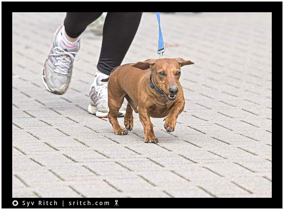 Another Jogging Sausage, aka a Dachshund: Vancouver, BC