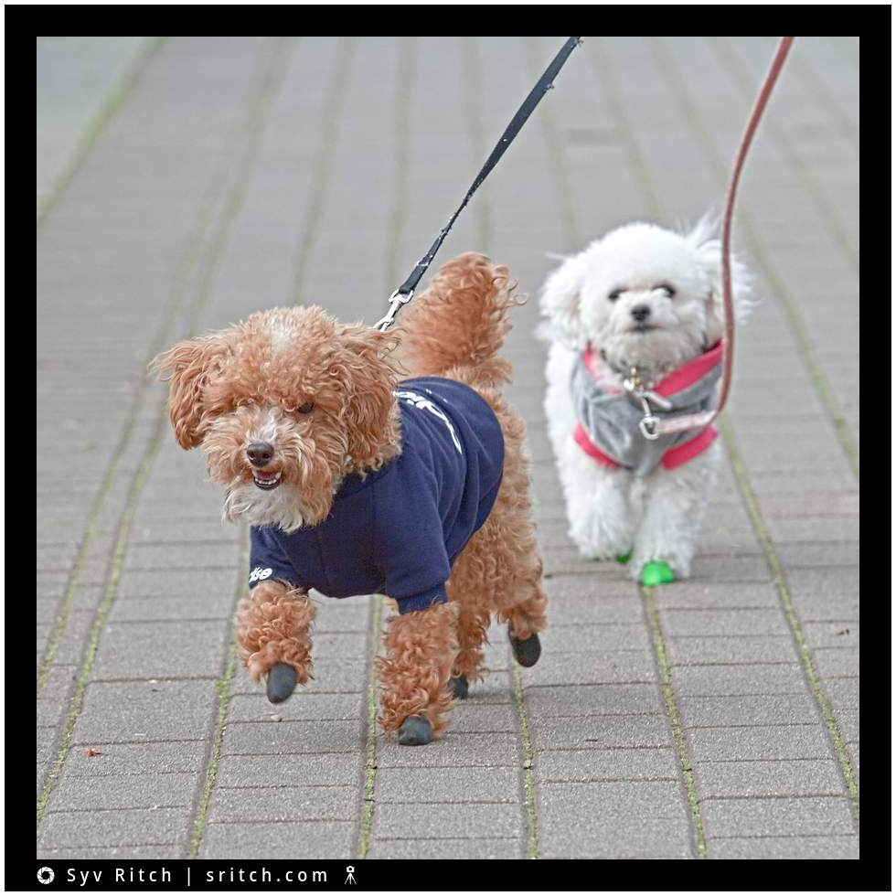 2 small dogs wearing booties