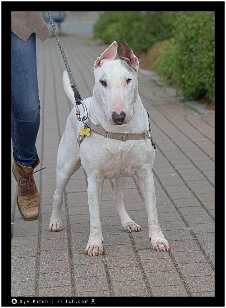 Bull Terrier: Vancouver, BC