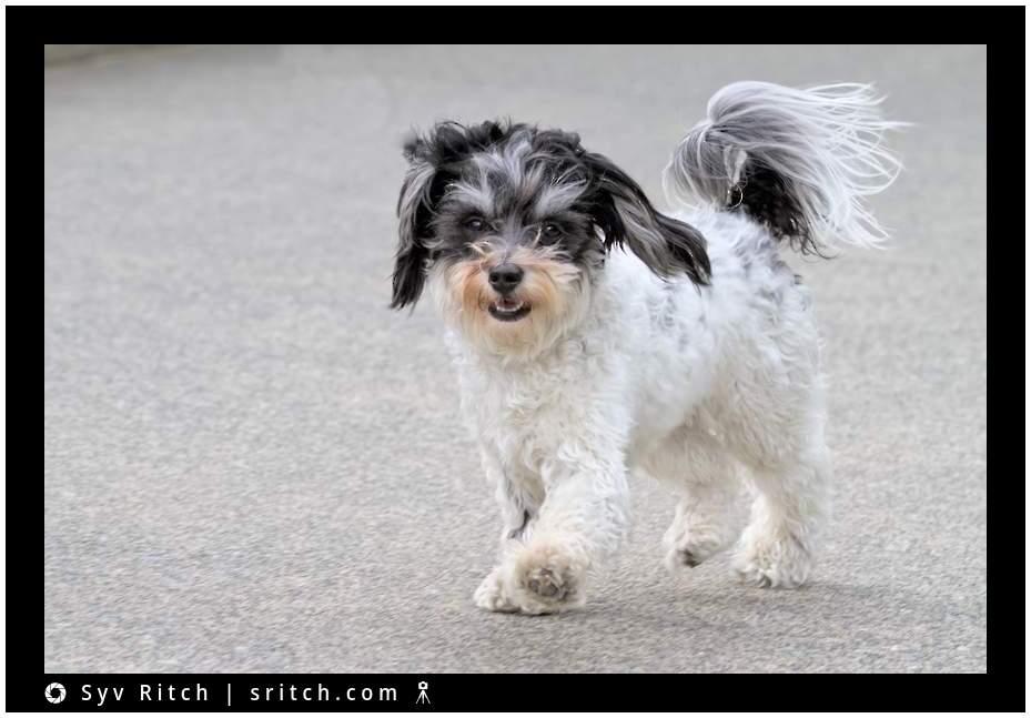 dog happily walking