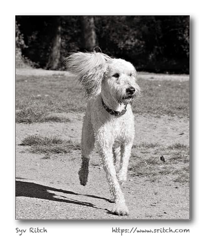 Standard Poodle Prancing Around: Ambleside Park — West Vancouver, BC