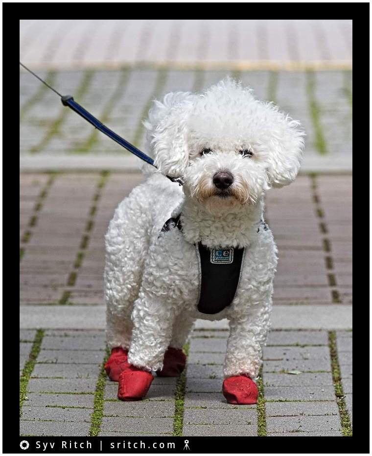 Small White Bichon Frise with red booties
