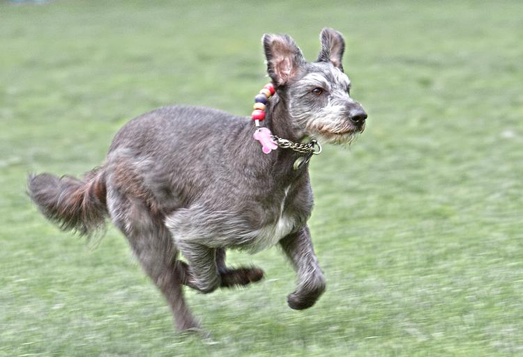 Graying dog running in a grass field