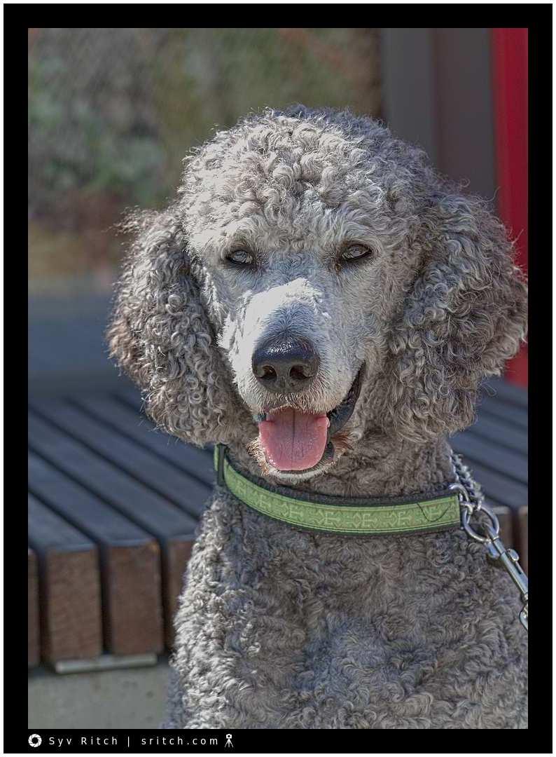 Smokey, a grey Standard Poodle