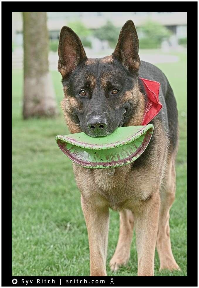 german shepard with frisbee