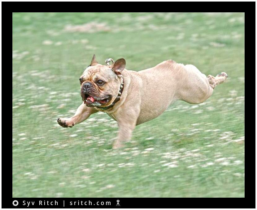 french bulldog flying through grass