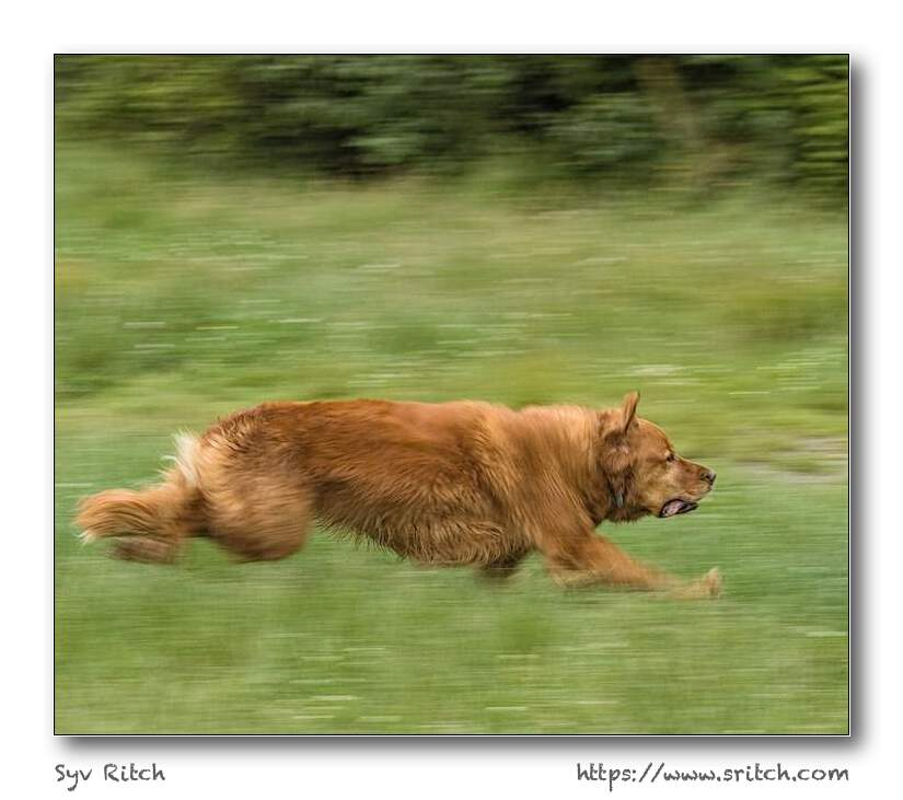 golden retriever running at full speed