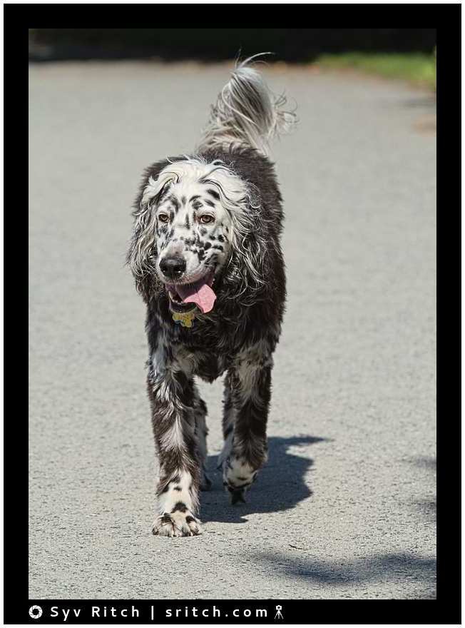 older english setter walking