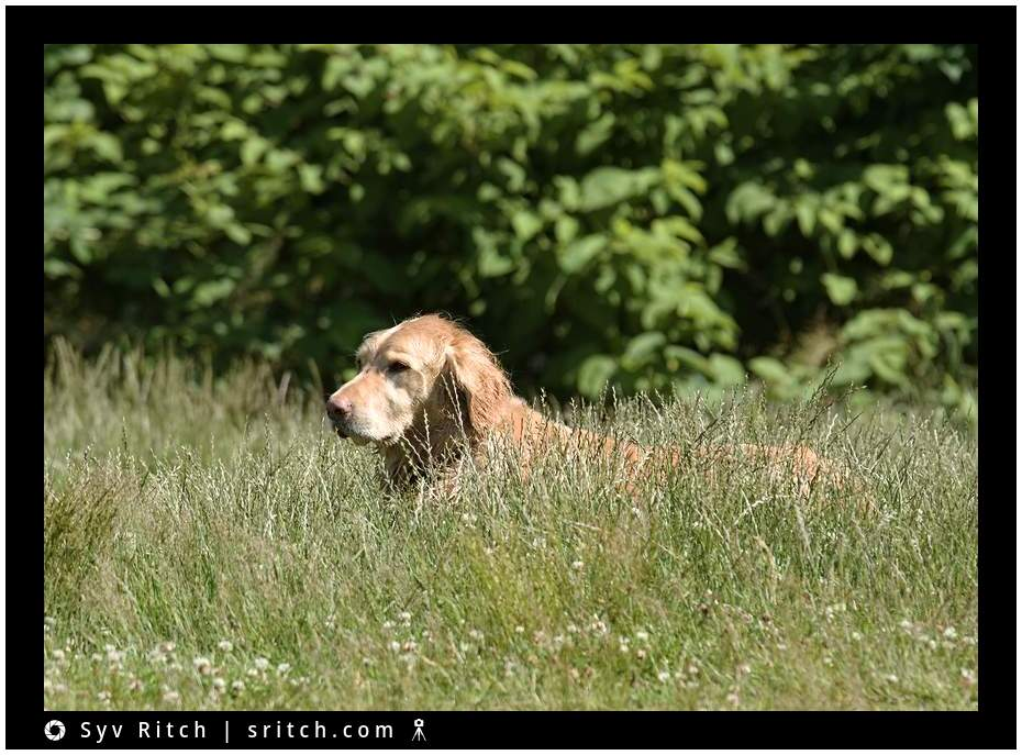 golden retriever waiting in the grass to attack her 'prey'